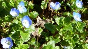 Kleine blaue Weinbergblüten