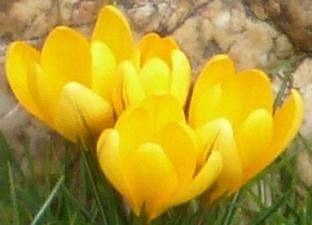 Gelbe Krokusse