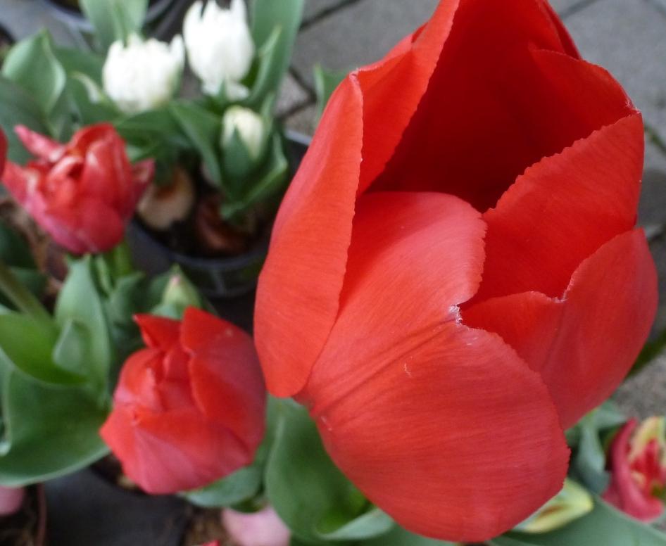 Tulpen im Februar