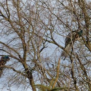 Zwei Pfauen im Baum