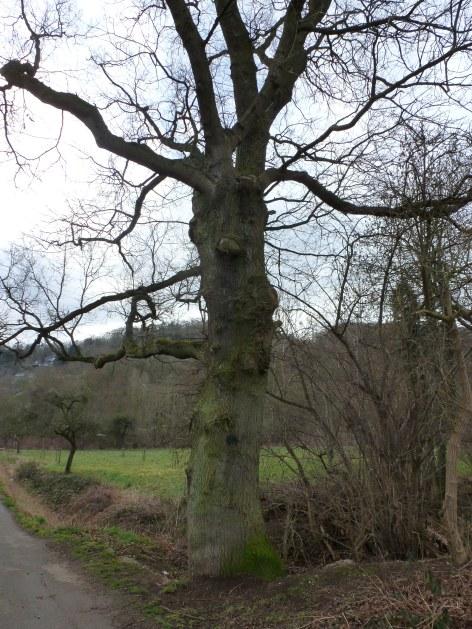 Uralter Baum Durchmesser 2,15 Meter
