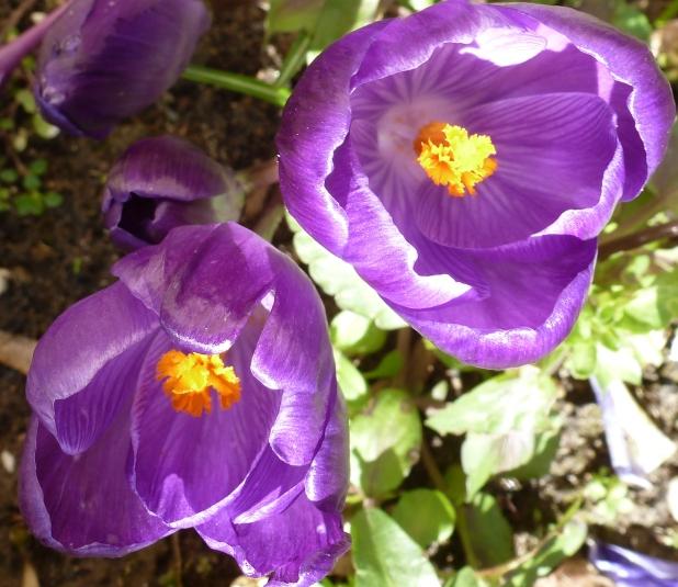 lila Krokusse