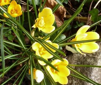 Frühlingsbusch von Krokussen