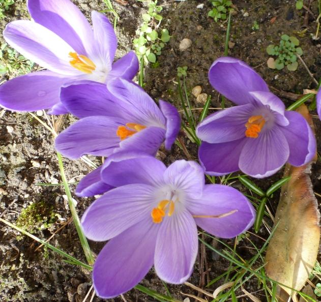Krokusblüten in all ihrer Schönheit