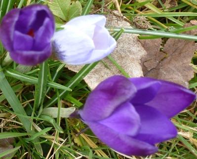 weiß lila Krokusse