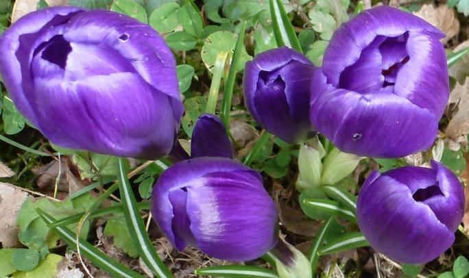 lila blaue Krokusse