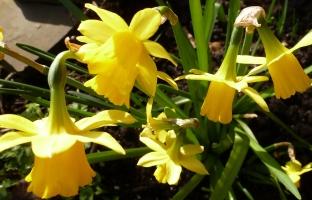 Narzissenbusch ein Blütenpracht