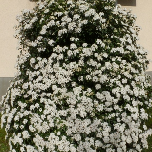 Der weiße Blütenbusch ein Labsal für die Bienen