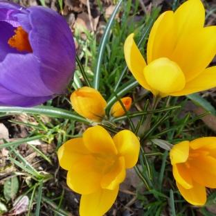 lila und gelbe Krokusse