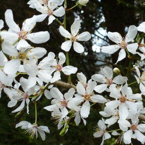 Weißer Blütenzweig