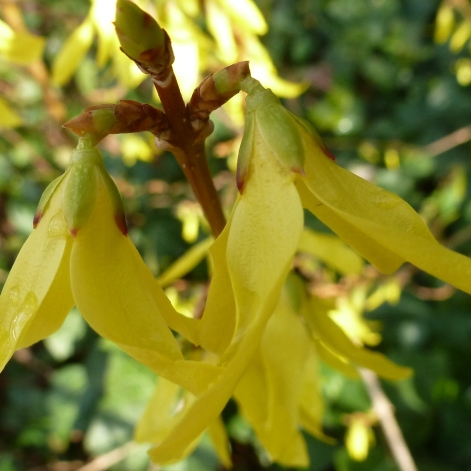Forsythienblüten