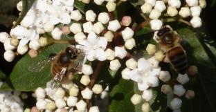 Zwei Bienen beim Nektar suchen