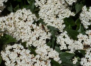 weißer Blütenbusch mit Biene