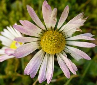 ein rosa weißes Gänseblümchen