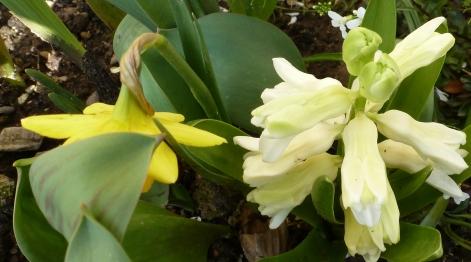Narzise und weiße Blüte