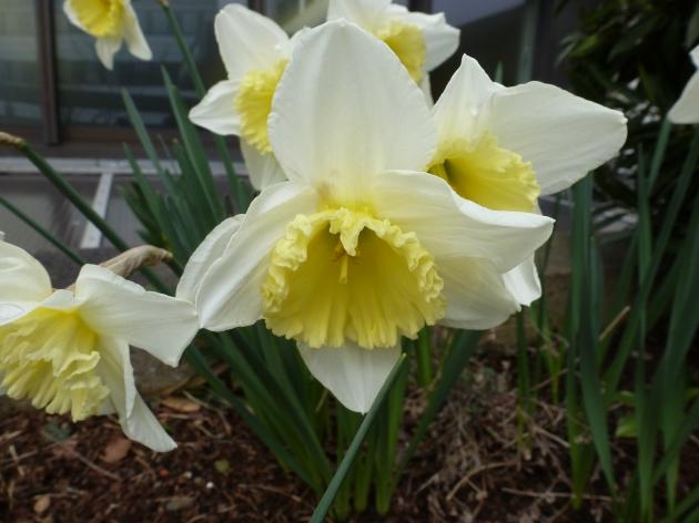 Weiß gelbe Narzisse
