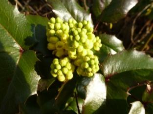Mahonie Blütenbusch