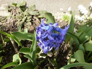 blaue Hiazintenblüte