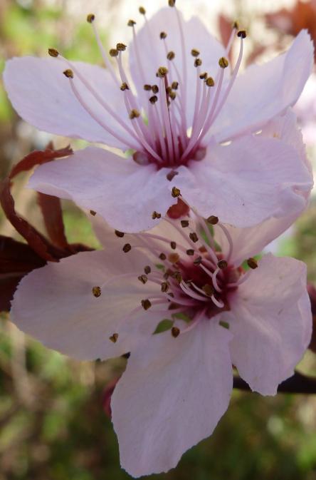 japanische Zierblüte