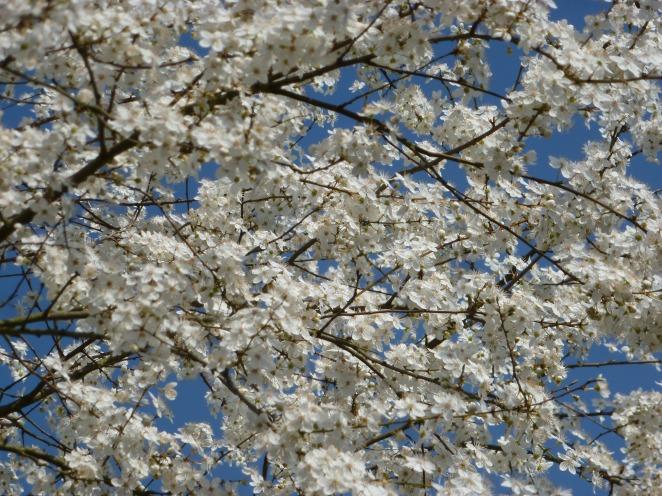 Japanische Blütenkirschbaum