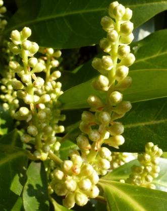 Kirschlorbeerbusch in Blüte