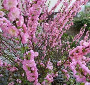 Japanischer Zierblütenstrauch