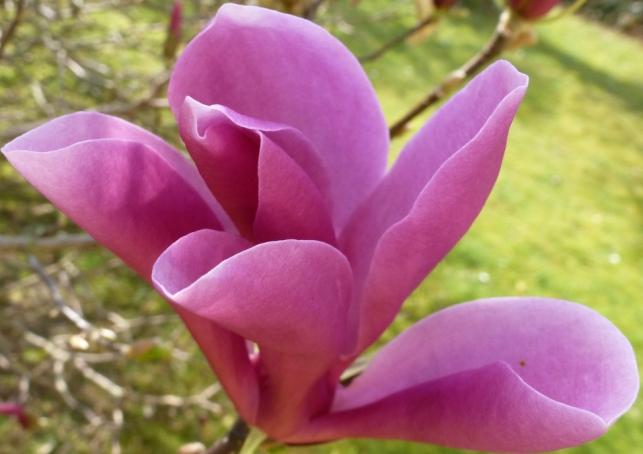 Mangnolienblüte