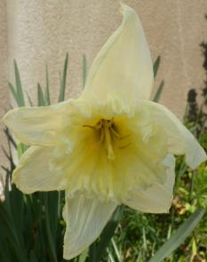 gelb weiße Narzissenblüte