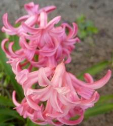 rosane Hyazinthe