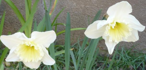 zwei Hyazinthen weiß gelb