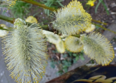 Weidekätzchen in voller Blüte