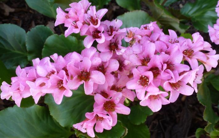 rosaner Japanischer Kirschblütenzweig
