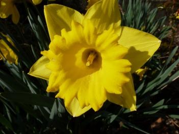 wunderschöne Osterglocken blüte