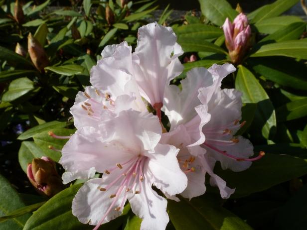 Rosa weiße Blüe