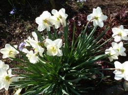Weiß gelbe Osterglocken