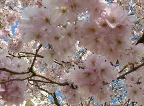 Japanischer Kirschblütenbaum