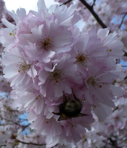 Japanische rosane Kirschblüte