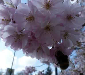 Japanische Kirschblüte mit einer Hummel