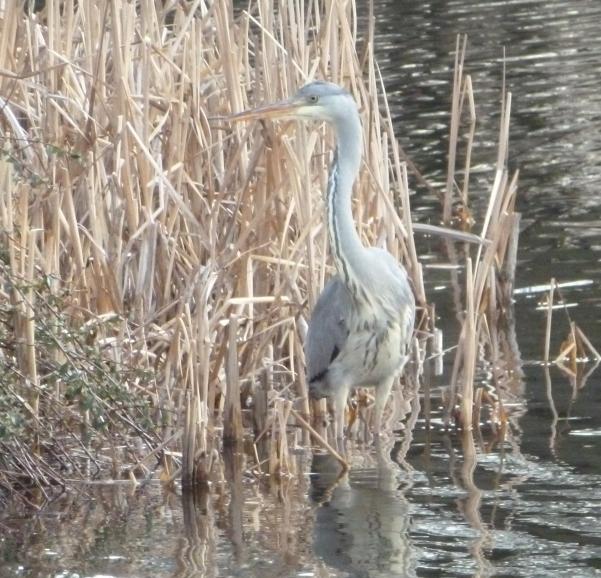 Reiher auf Goldfisch suche im Teich