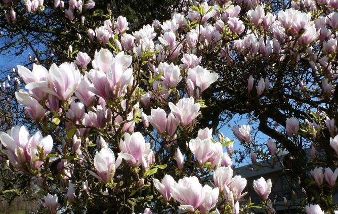 Magnolienbaumblüten