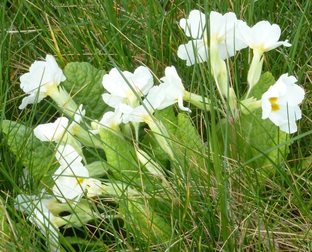 Wilde Primeln im Gras