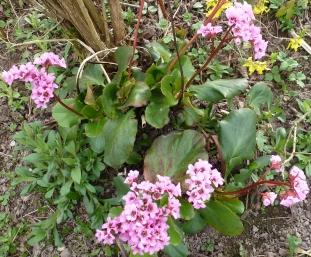 Rosane wilder Blütenbusch