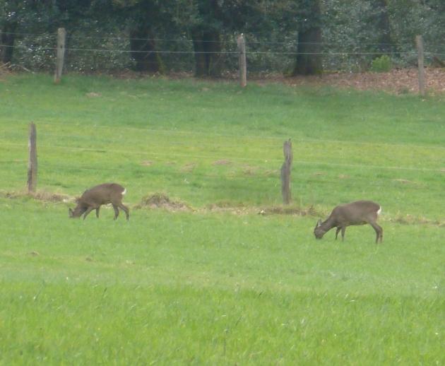 Zwei Rehe am Waldrand