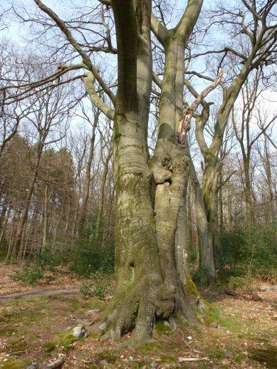 Alte Zwillingsbäume im Bergischen