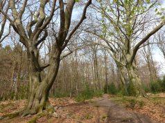 Sehr alte Bäume