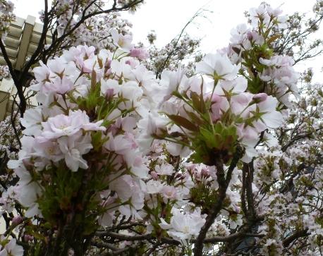 Weißer Rhododendronbusch