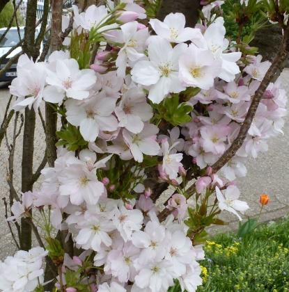 Japanische Säulenkirschblüte