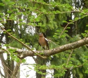 Ein Buchfink vor ihrem Nest
