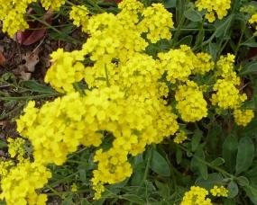 Gelber Blütenbusch