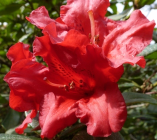 Rote Rhododendronblüte